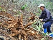 Khánh Hòa đã tìm ra giống sắn mới thay thế giống nhiễm bệnh