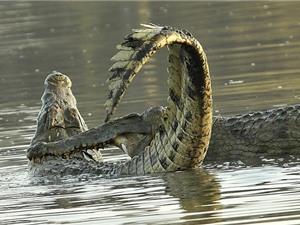 Cận cảnh cuộc chiến giành ngôi vương của loài cá sấu