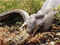 10 loài rắn lớn nhất từng có mặt trên Trái Đất