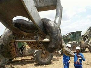 Giật mình với sự xuất hiện của con trăn khổng lồ dài gần 10m