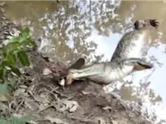 Clip: Cách săn mồi và tự vệ kỳ lạ của cá chình điện