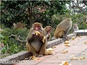 Nơi loài khỉ hiến mình cứu người khỏi bệnh bại liệt