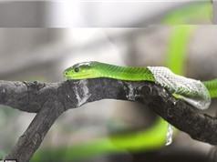 Cận cảnh quá trình lột da của rắn lục châu Phi