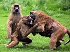 Chùm ảnh nội chiến kinh hoàng của loài khỉ