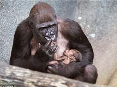 Chùm ảnh gây xúc động về tình mẫu tử của khỉ đột