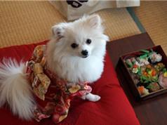 Những chú chó mặc kimono đón năm mới ngộ nghĩnh