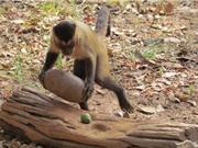 Khám phá những bản năng kỳ lạ của loài khỉ
