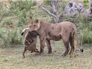 Chùm ảnh những trận chiến của khỉ với động vật khác