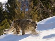 Khám phá cuộc sống của loài báo tuyết