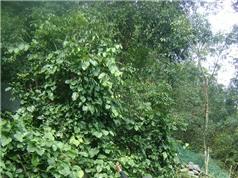 Trồng đại trà rau rừng quý hiếm