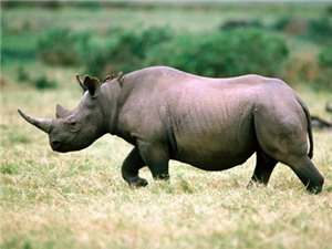 Việt Nam hiện có bao nhiêu cá thể tê giác?