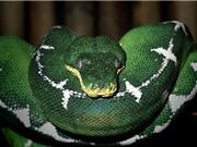 Những loài động vật nguy hiểm nhất trong rừng rậm Amazon