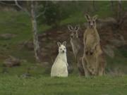 Phát hiện kangaroo màu trắng hiếm có ở Australia