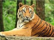 Những khám phá bất ngờ về loài hổ