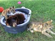 Tình bạn có một không hai giữa gấu, hổ và sư tử