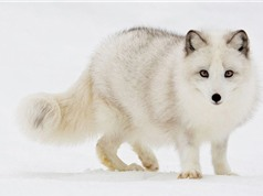 10 loài động vật tuyệt đẹp chỉ có ở Bắc Cực