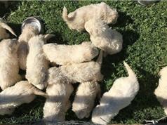 Kỷ lục: Chó chăn cừu đẻ 17 con một lứa