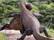 Cận cảnh cuộc chiến giành ngôi vương tàn khốc của rồng Komodo