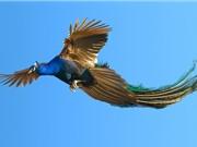 Mãn nhãn với cảnh chim công bay lượn trên bầu trời