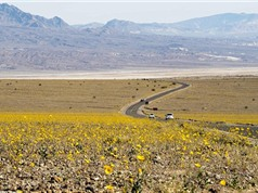 Ngỡ ngàng trước sắc hoa trên sa mạc ở thung lũng Chết