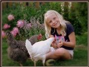 Canada: Gà hết đẻ trứng thành thú cưng