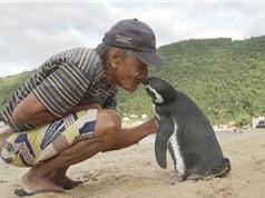 Chim cánh cụt lặn lội 8.000 km về thăm ân nhân cứu mạng