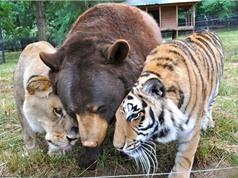 Tình bạn khó tin giữa 3 kẻ săn mồi đáng sợ nhất trên mặt đất