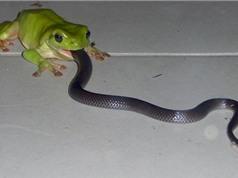 Khám phá về loài ếch có thể ăn thịt rắn độc