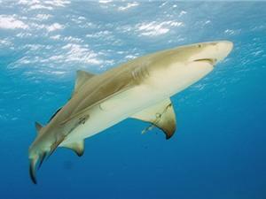 Cá mập chanh và những sự thật ít biết