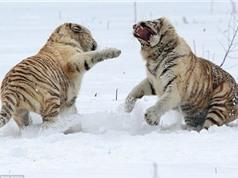 Cận cảnh chị em hổ trắng cắn xé nhau trên tuyết