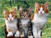 Mèo nhiễm giọng địa phương từ con người?