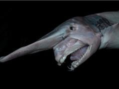 Điểm danh 10 loài cá mập có hình thù kỳ quái nhất thế giới