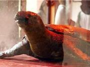 Bảo quản cụ rùa theo phương pháp nhựa hóa
