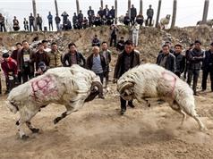 Cận cảnh cuộc thi chọi cừu kinh hoàng ở Trung Quốc