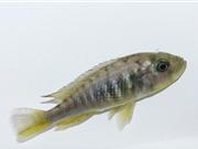Cá cái mọc thêm tinh hoàn để tự sinh sản