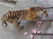 Trung Quốc bỏ đói hổ vườn thú để lấy xương ngâm rượu