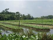 Vườn nổi - lối thoát cho  nông dân vùng ngập mặn