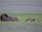 Thót tim xem chó rừng ranh mãnh đùa sư tử đực