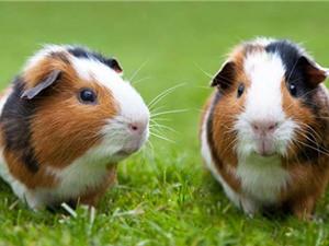 Top 10 loài động vật có tuổi thọ ngắn nhất thế giới
