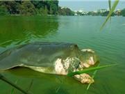 Bắt đầu chế tác xác cụ rùa Hồ Gươm