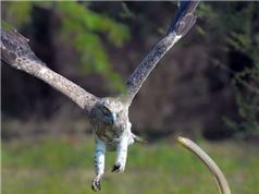Đại bàng bỏ cuộc trong trận chiến với rắn hổ mang