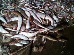 Nguyên nhân cá chết hàng loạt ven biển miền Trung