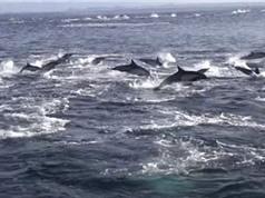 Cuộc truy sát bầy cá heo của cá voi sát thủ
