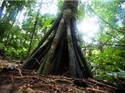 Thực hư chuyện những cây cọ biết đi ở Ecuador