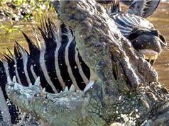 Ngựa vằn cắn cá sấu trong cuộc chiến giữa sông
