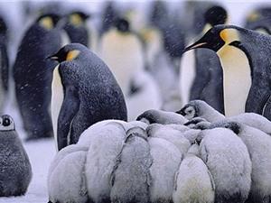 Cuộc sống thường nhật trong băng giá của chim cánh cụt
