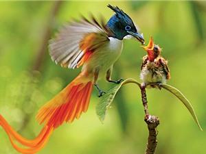 Tại sao chim mái  ngày càng ít hót?