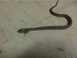 Chùm ảnh rắn chết thảm khi bị nhện độc tấn công