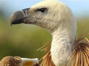 Chim kền kền tuyệt chủng sẽ kéo theo thảm họa môi trường