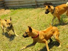 Luyện chó Phú Quốc, chó H'Mông săn mồi ở Sài Gòn